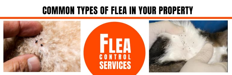 Common Types Of Flea In Your Property