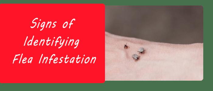 Signs of Identifying Flea Infestation