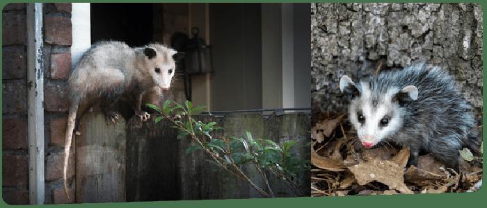 Possum Removal Brisbane